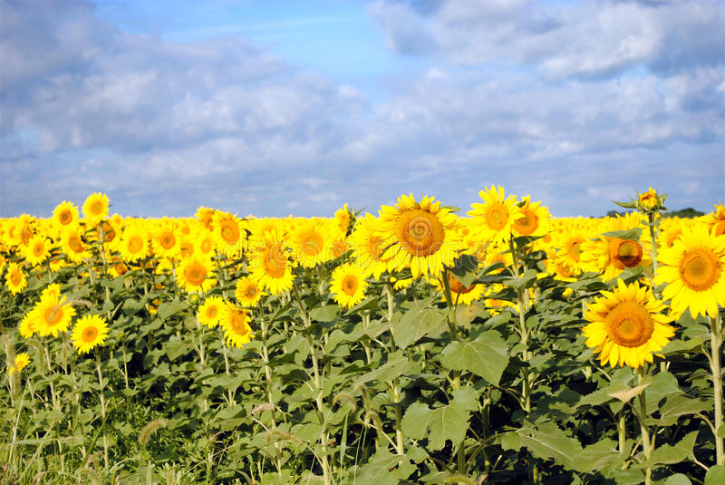 Download Sunflowers On A Cloudy Day Stock Photos - Image: 15951523