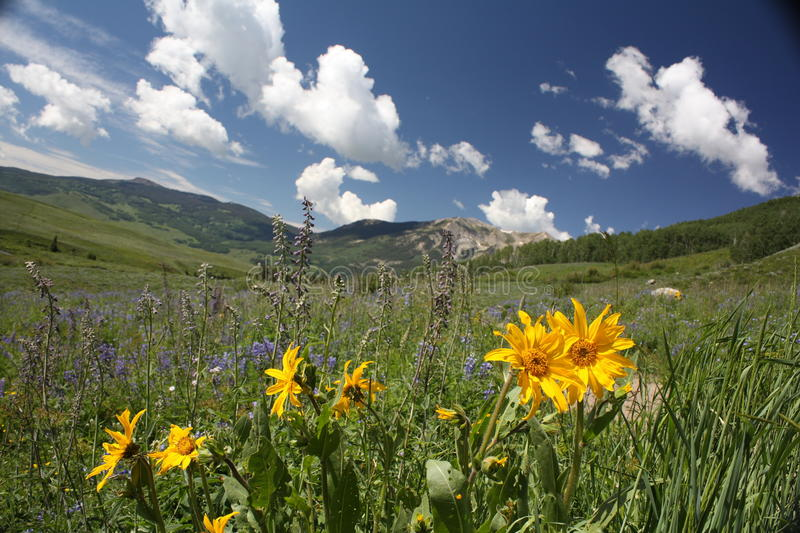 Sunflowers in Crested Butte, CO royalty free stock photography