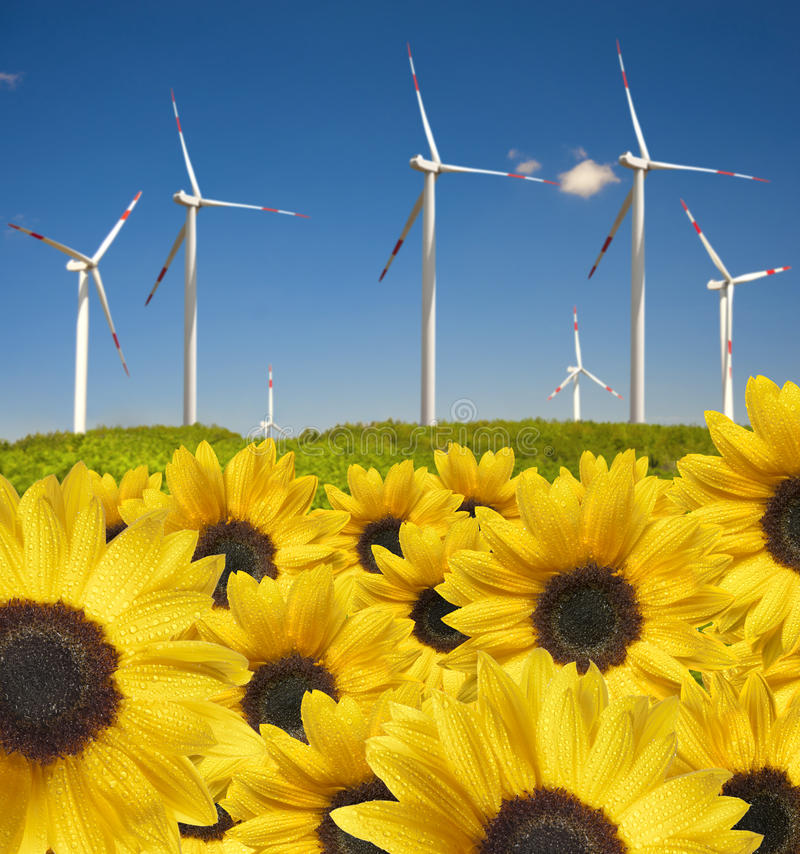 Sunflowers with drops ahead wind power plant royalty free stock photography