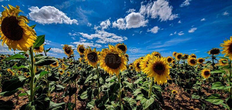 Sunflowers farm sun royalty free stock photography