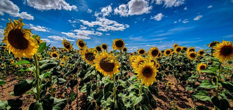 Sunflowers farm sun stock photos