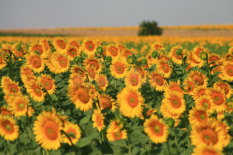 Download Sunflowers field stock image. Image of green, multi, shiny - 12720423