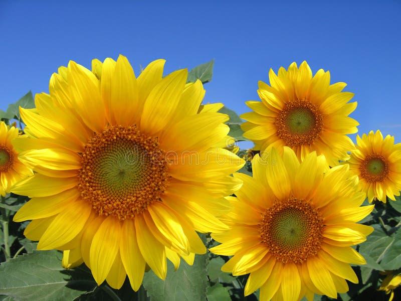 Sunflowers field. Field of sunflowers and blue sky