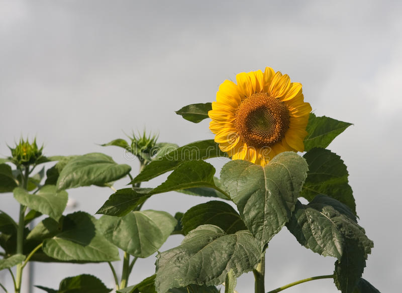 Download Sunflowers On A Field Against  Sky Stock Photo - Image: 21225994
