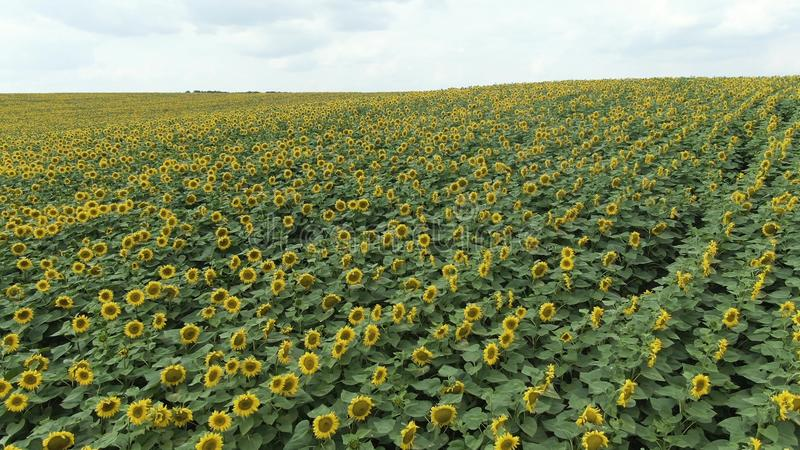 Sunflowers in the Field. Beautiful fields with sunflowers in the summer. royalty free stock images