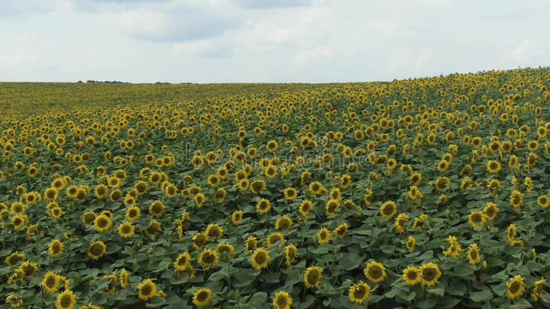 Sunflowers in the Field. Beautiful fields with sunflowers in the summer. royalty free stock photo