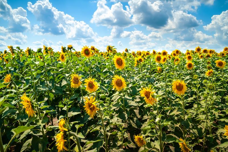 Sunflowers field. Blooming sunflower flowers on a sunflowers field and a blue sky with white and gray clouds background royalty free stock photography