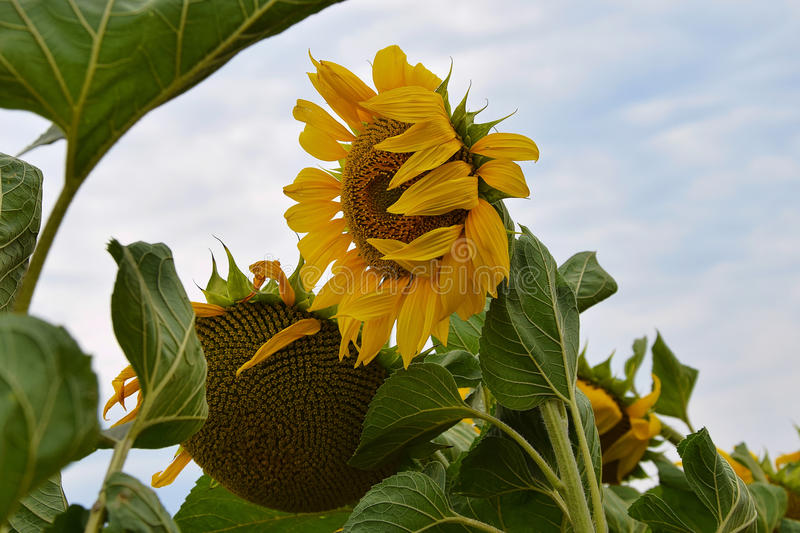 Sunflowers field. Close up in the sunshine at my home royalty free stock photography
