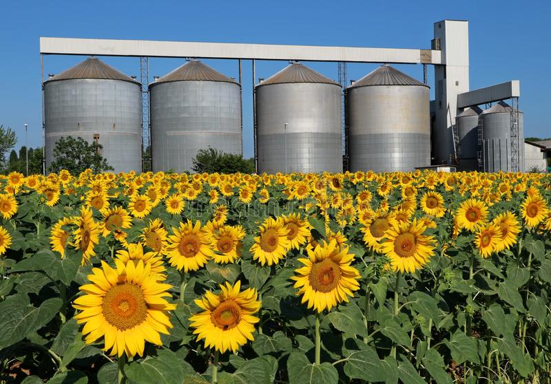 Sunflowers field in front of a grain drying system silos on a hot summer day.  royalty free stock photography
