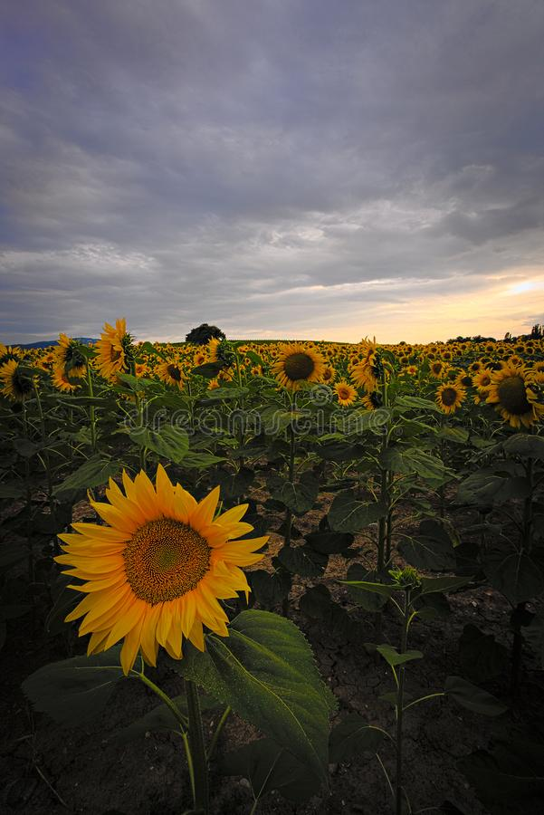 Sunflowers Field with a golden sun stock photography