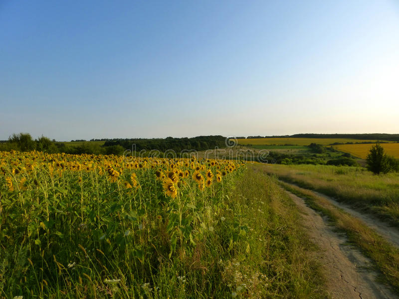 Sunflowers. Field of sunflowers near rural road. Ukraine royalty free stock photography