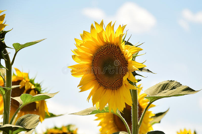 Sunflowers field. Nice sunflowers field in the sunshine at my home royalty free stock images