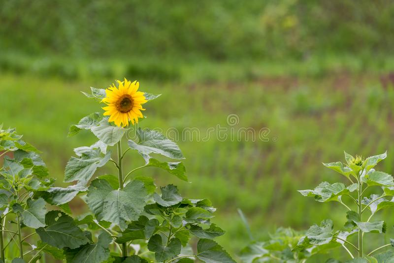 Sunflowers field with single flower royalty free stock photography