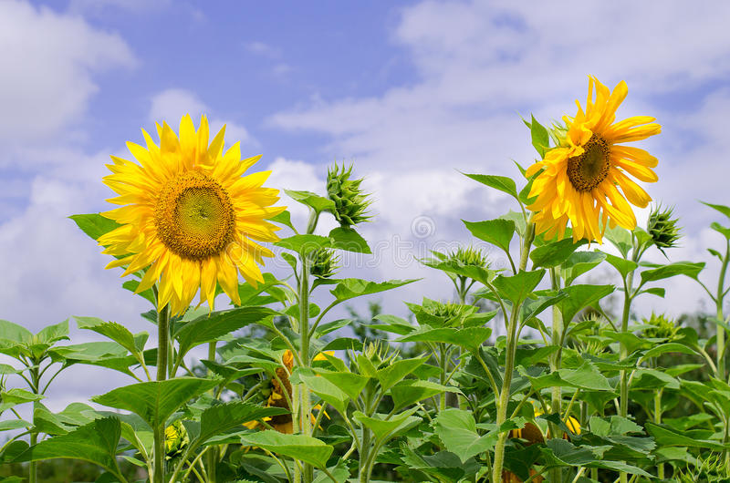 Sunflowers on the field with sky background stock image