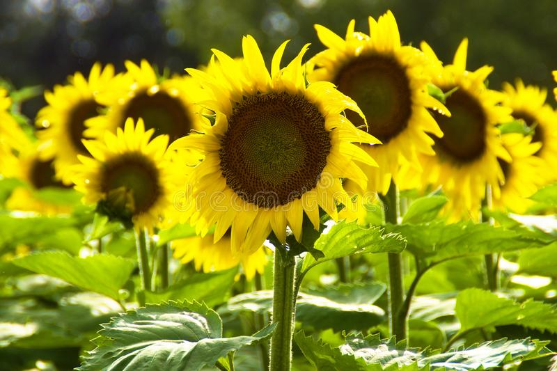 Sunflowers In Field In Summer stock photo