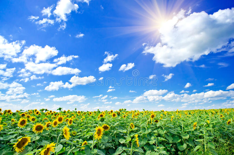 Download Sunflowers Field By Summertime. Stock Image - Image: 20487873