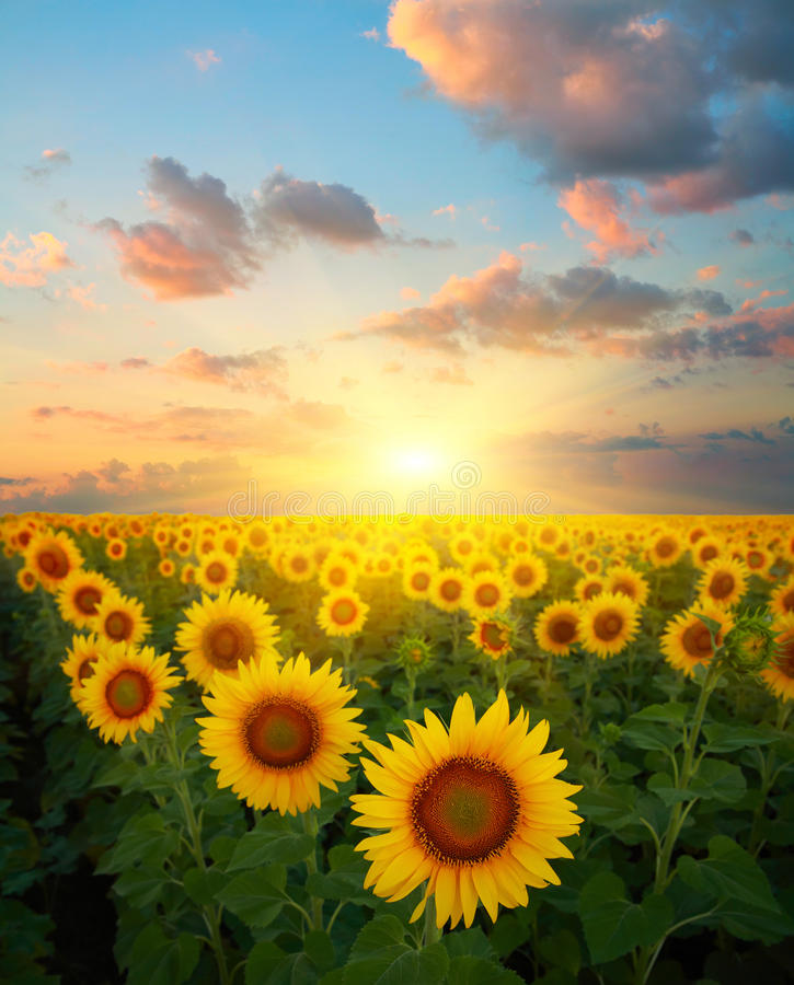 Download Sunflowers stock photo. Image of bright, farm, blossom - 87842892