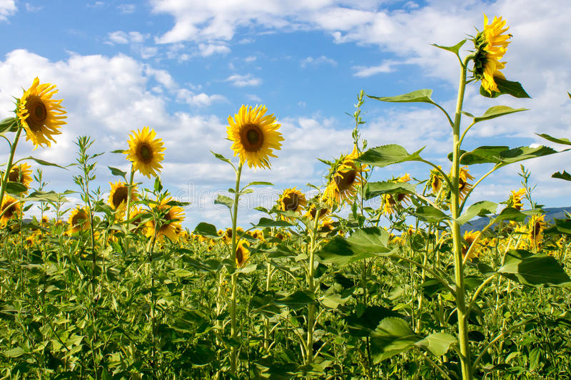 Sunflowers field stock photos