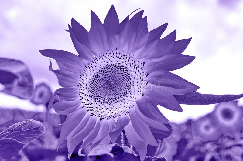 Sunflowers Field. Ultra violet color of 2018 sunflowers in a field concept