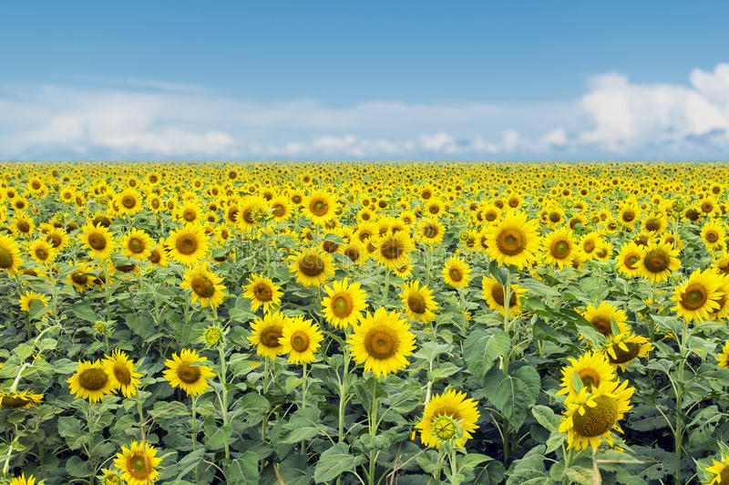 Download Sunflowers Stock Photo - Image: 96919974