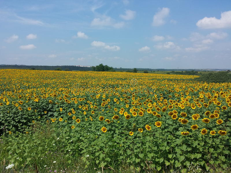 Download Sunflowers field stock photo. Image of natural, field - 42771610