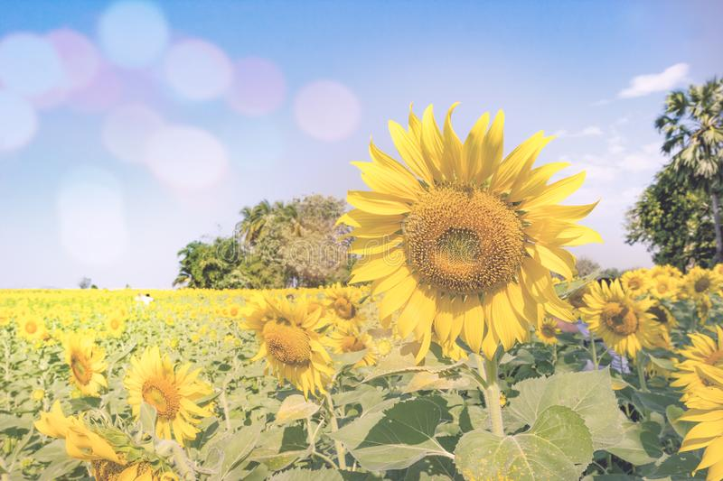 Sunflowers with filter effect. Yellow sunflowers with filter effect royalty free stock images
