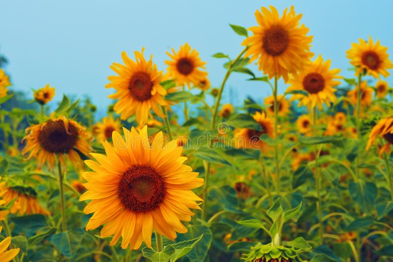 The sunflowers in fleld. The sunflowers in fleld are blooming in the morning royalty free stock photo