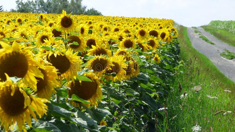 Sunflowers in france royalty free stock photos