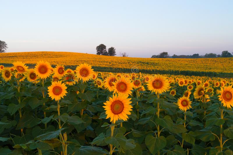 Sunflowers Glowing in the Light. stock photos