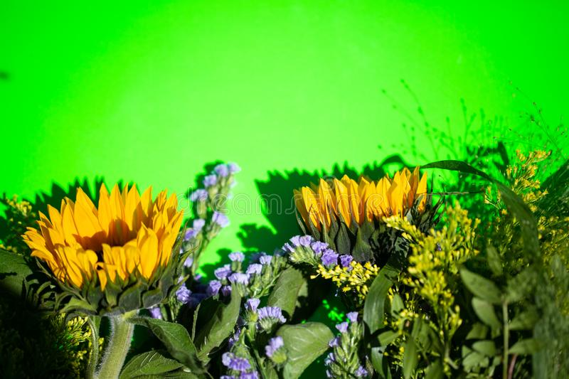 Sunflowers on a green background, copy space royalty free stock photo
