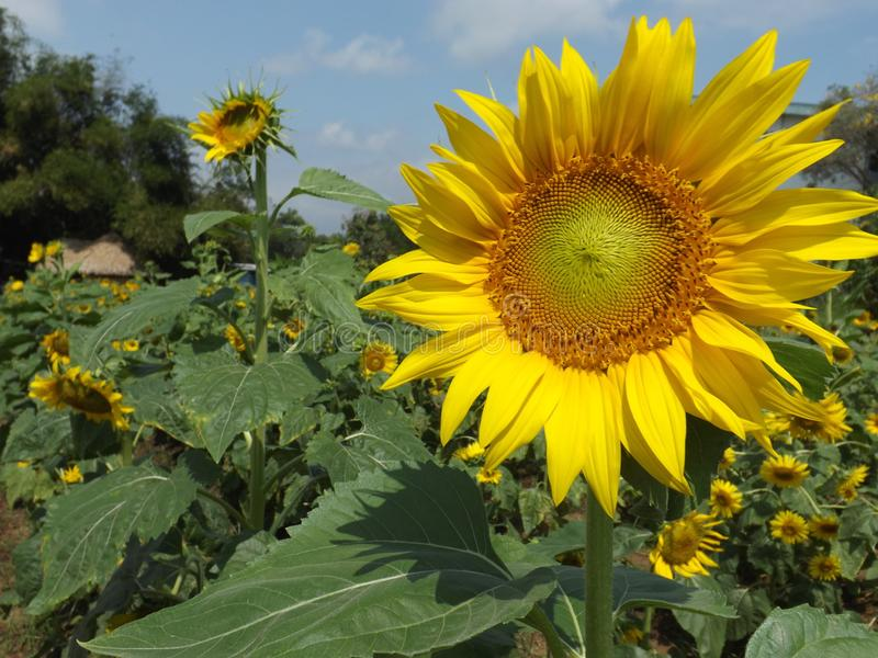 Sunflowers with green leaves and motion blur. With the best quality and resolution stock photo