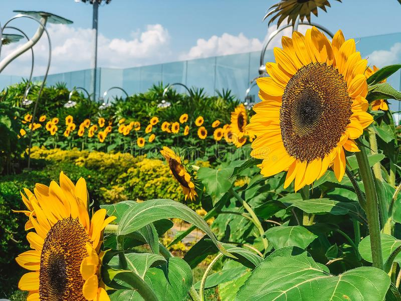 Sunflowers with green leaves in the open garden. With the best quality and resolution royalty free stock photo