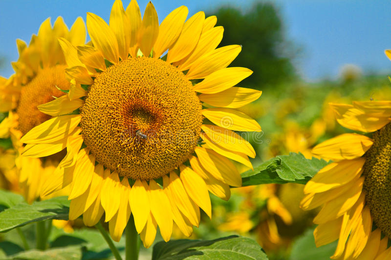 Sunflowers. A group of sunflowers in a Spring field royalty free stock photo