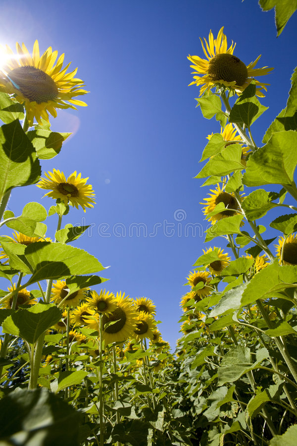 Sunflowers growing in field stock photography