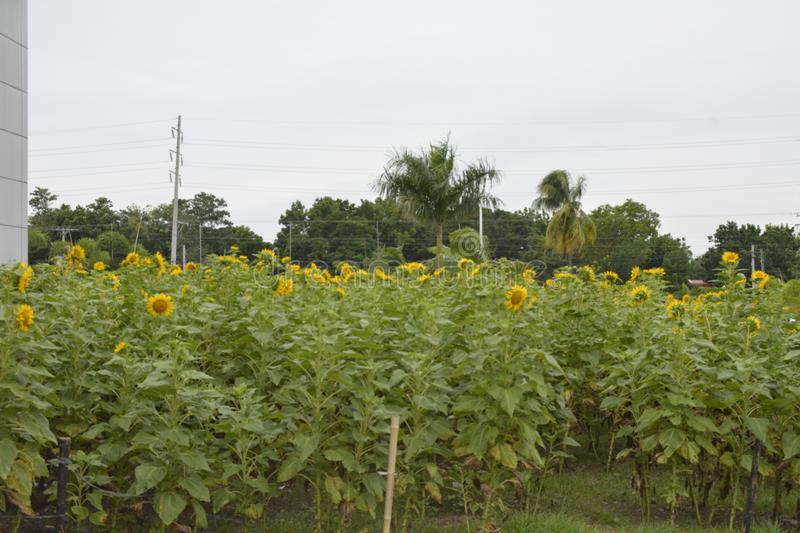 Sunflowers grown at the premises of the Davao del Sur Coliseum, Matti, Digos City, Davao del Sur, Philippines. This photo shows the sunflowers grown at the royalty free stock photography