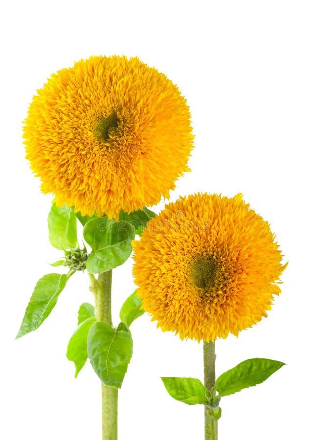 Free Sunflowers, Helianthus Annuus Stock Images - 26754944