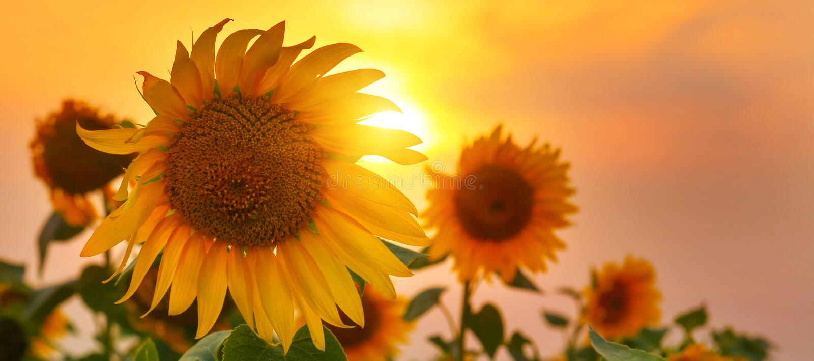 Sunflowers in high summer with rising sun. Close up photo with yellow ornamental plant at sunrise stock images