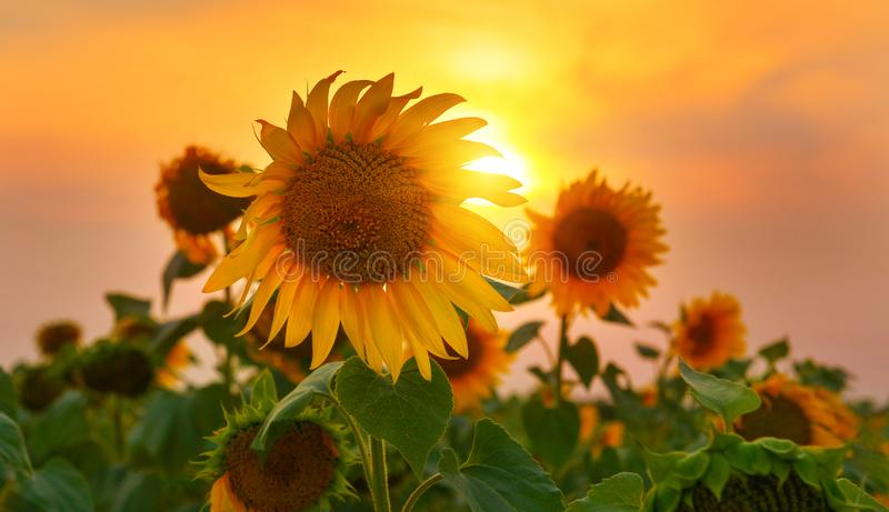 Sunflowers in high summer with rising sun. Close up photo with yellow ornamental plant at sunrise stock image