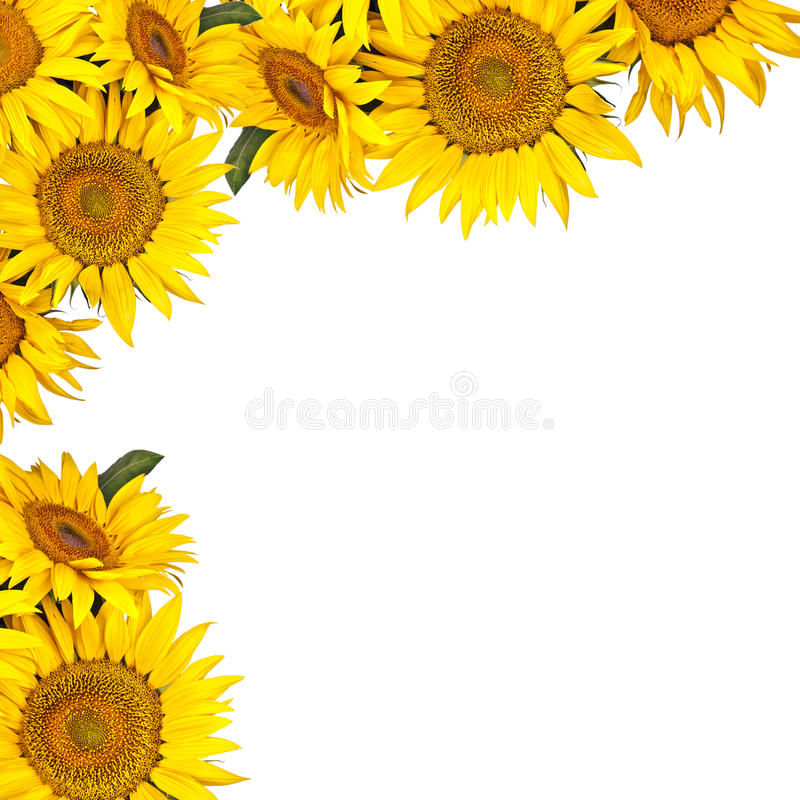 Free Sunflowers Isolated On White Background Royalty Free Stock Photos - 25967588