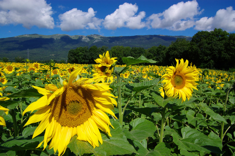Sunflowers landscape royalty free stock photography