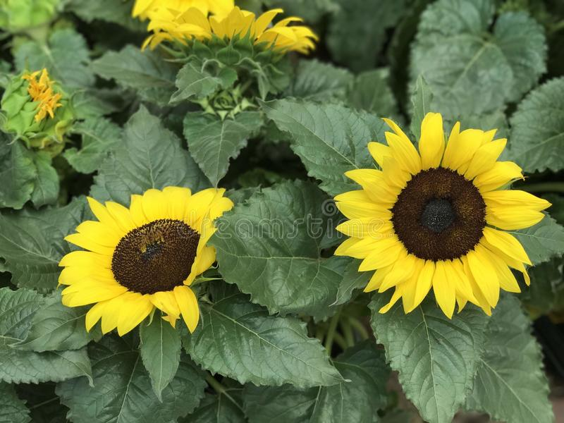 Sunflowers and leaves in summer`s garden stock photography
