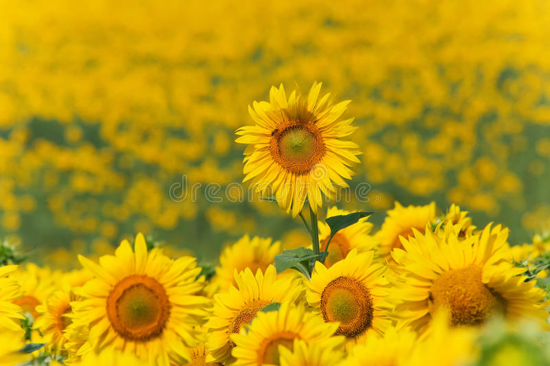 Download Sunflowers Meadow With One Above Others Stock Photo - Image: 10351316