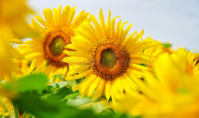 Sunflowers nature summer royalty free stock photography