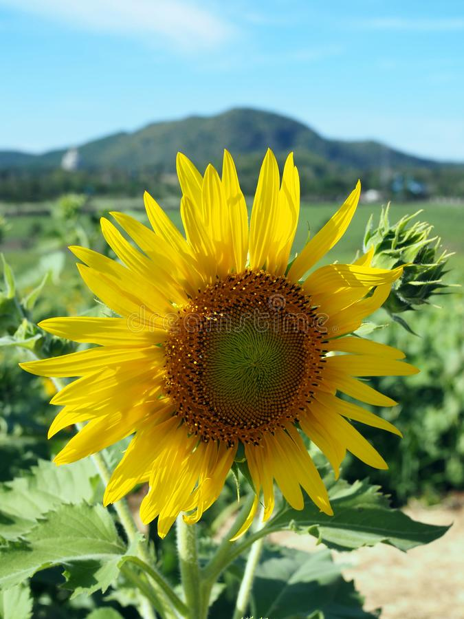 Sunflowers at noon stock image