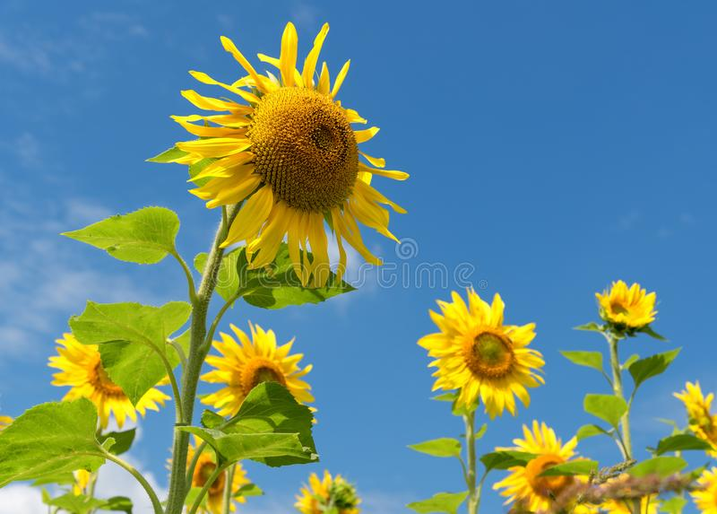Sunflowers over blue sky background royalty free stock photography