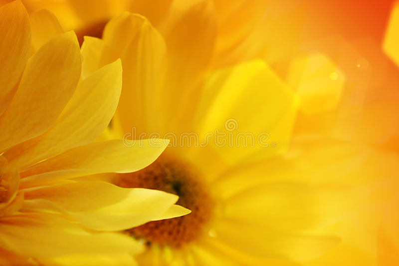 Sunflowers over sunset royalty free stock photos
