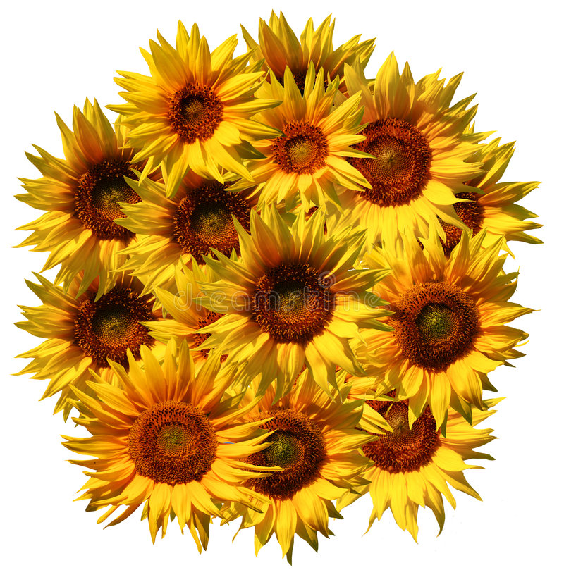 Sunflowers pattern. An image of sunflower pattern isolated over white background stock photography
