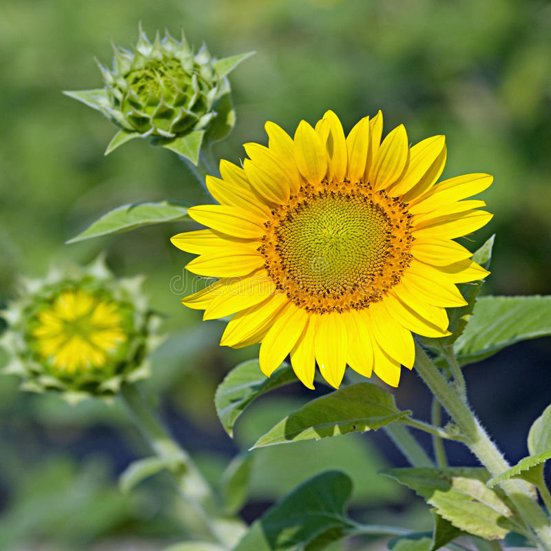 Free Sunflowers Ready To Burst Stock Photography - 14971692