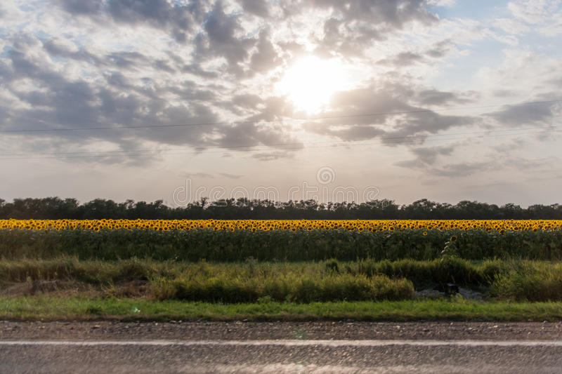 Sunflowers about road royalty free stock photos