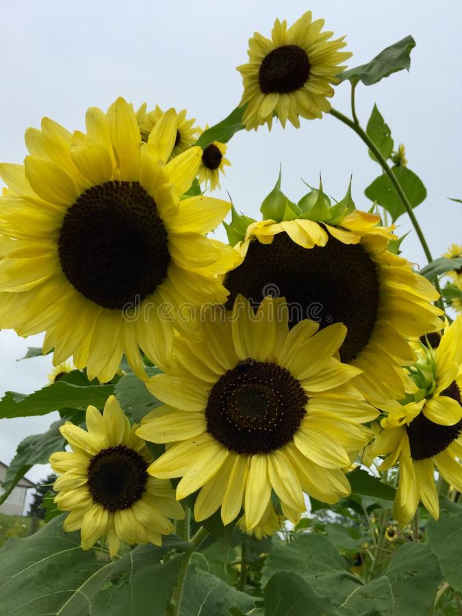 Sunflowers. Rogue sunflowers in the vegetable garden royalty free stock images